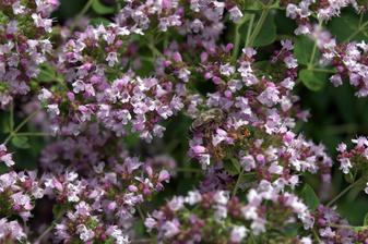 dobromyseľ je plný včiel - vlani presadený z lúky