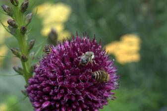 Ozdobné cesnaky sú veľmi medonosné - chodia sem všetky druhy včielok