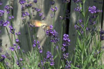 figu to vidno, ale chodí k nám lišaj marinkový (tá oranžová škvrna) - vyzerá ako kolibrík a tak aj pije nektár, v letku a strašne rýchlo sa premiestňuje, nemám šancu ho poriadne odfotiť.
