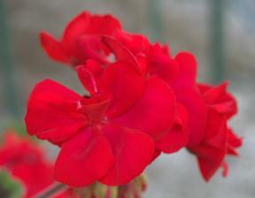 aj druhý druh muškátu je nádherný (kvetom - listy akosi schnú :-( )
