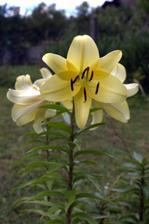 staro-nové ľalie, aktuálne (koniec júla) napĺňajú záhradu nádhernou vôňou