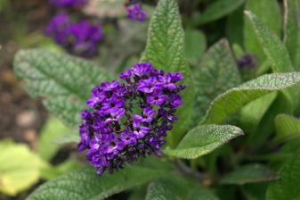 stále netuším čo to je, ale miluje ju všetok hmyz - tá vôňa je neuveriteľná