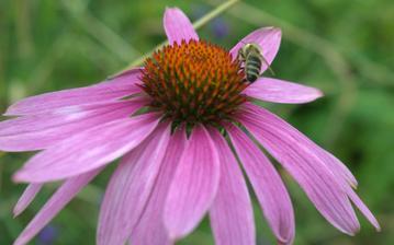 liečivá echinacea - nepáči sa jej sucho