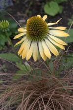 echinacea s trávou