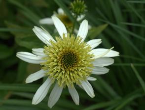 limetková echinacea - je žlto biela