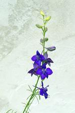 semienka z vlaňajšej dovolenky - asi ostrôžka záhradná