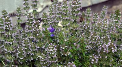 materina dúška v plnom kvete a plná včiel!
