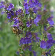 zakvitnutý yzop, proste mi nedá ho ostrihať a nasušiť .... je plný včiel
