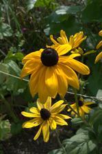 rudbekia - jarný prírastok, trošku kvitne