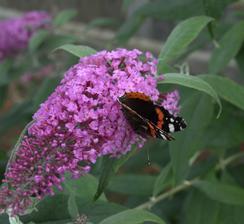 pri likvidácii baumaxu kúpená veľmi zúfalá budleja za cca 0,5E. Aktuálne má cca 1,5 metra a je plná kvetov a motýľov.