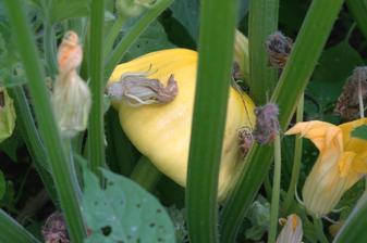 žlté patizóny, sú krásne ale nepomerne menej na jednej rastlinke oproti obyčajným, cuketám sa tohto roku nezadarilo, vyrástla jedna rastlinka aj tá mala len 3 plody :-(