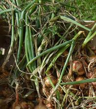 naša prvá úroda cibule - teda ten zbytok, ktorý sme ešte nestihli zjesť :-)