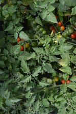 divoké paradajky, neskutočná úroda a zrejú a kvitnú - veľkosti egrešov, ale z pár rastliniek máme kilá úrody (nestriháme, nezaštipujeme - až teraz na jeseň)