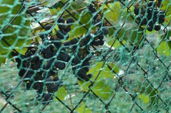 krásna úroda hrozna skončia v obave pred škorcami pod sieťou. Po bielom, už aj toto objavili osy ....