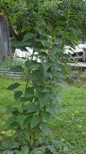topinambury - slnečnica hľuznatá, zatiaľ majú mikro púčiky