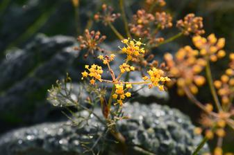 bronzový fenikel je skôr ozdobný, hľuzy nenaviazal žiadne, semená netvorí ....