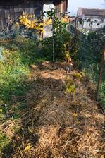 popri plote sme vysadili ríbezle, je to polotieň, hádam sa im tam bude viac páčiť ako cviklám a tekviciam.