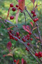 červená arónia, tá zrejme vtákom nechutila, čiernu vyzobali ešte bola len ružová ....