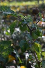 machovka peruánska, začala dozrievať teraz na jeseň, je úžasná