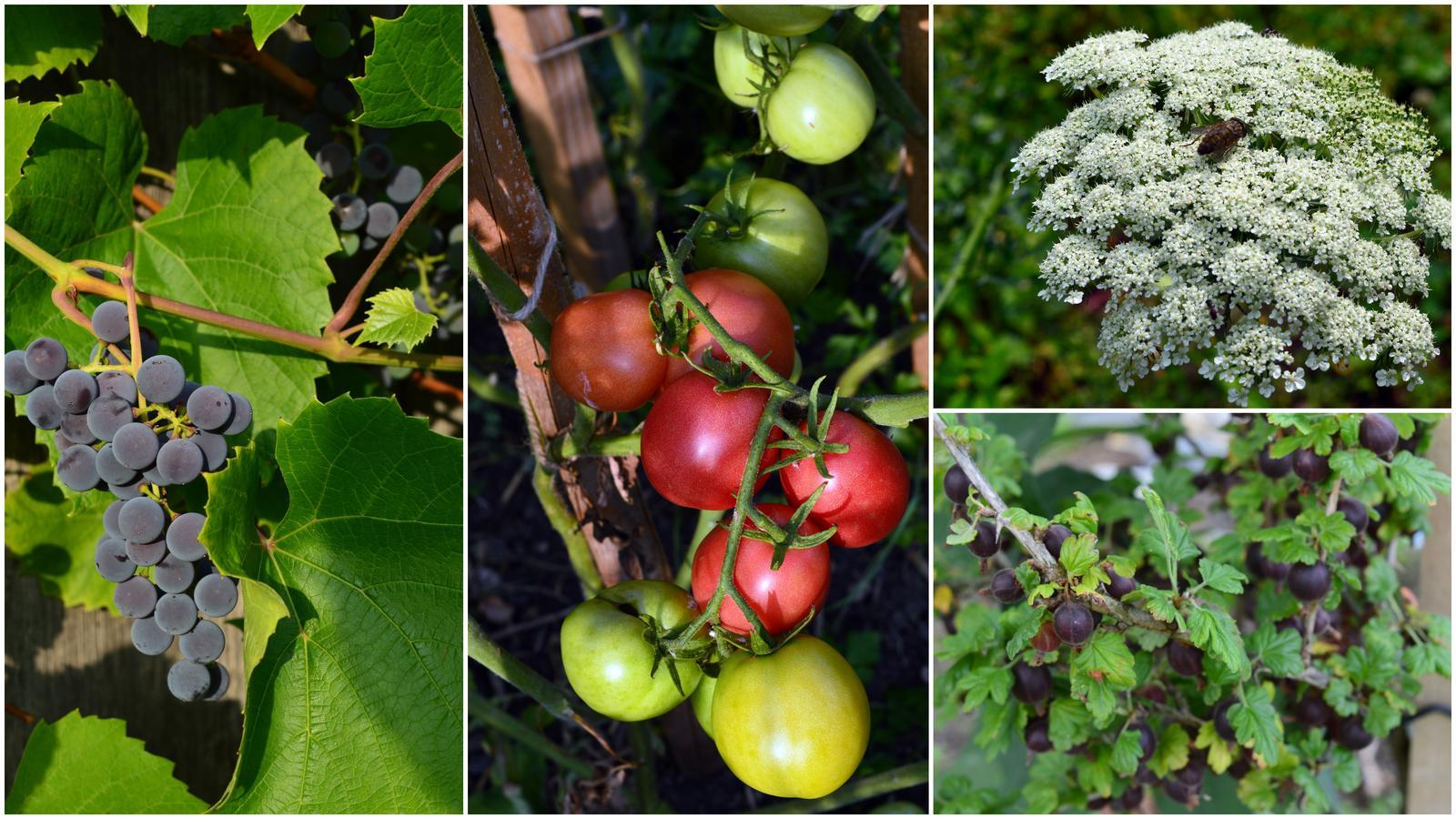 Naša prírodná perma záhradka v roku 2019 - hrozno a paradajky sa zbláznili, egreše sú obsypané, ale drobnučké ...