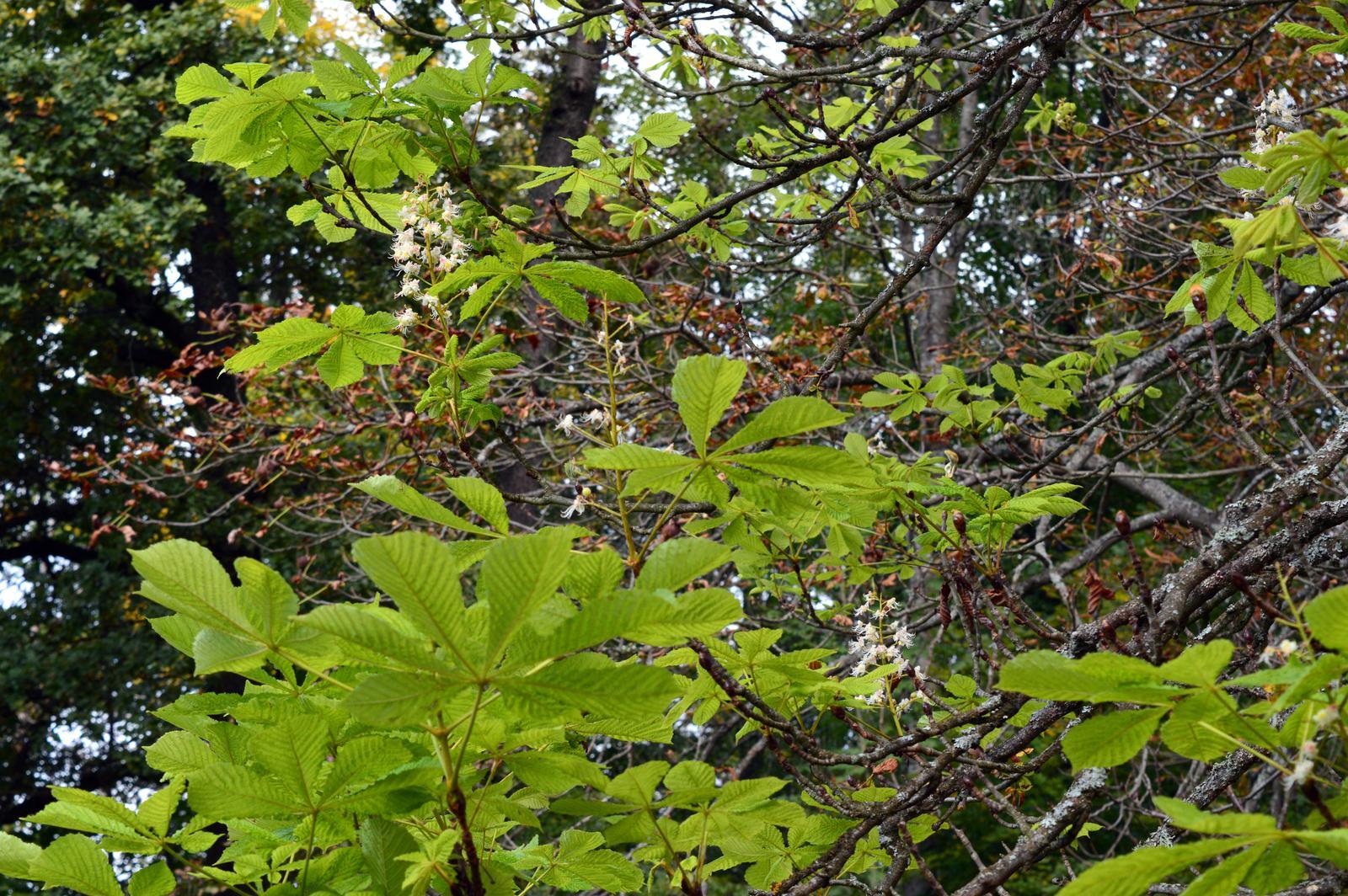 S očami dokorán :-) - gaštanko na sklonku jesene má nové listy, kvitne a zároveň opadáva ....