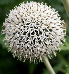 ježibaba biela Star Frost - sadenice - Obrázok č. 1