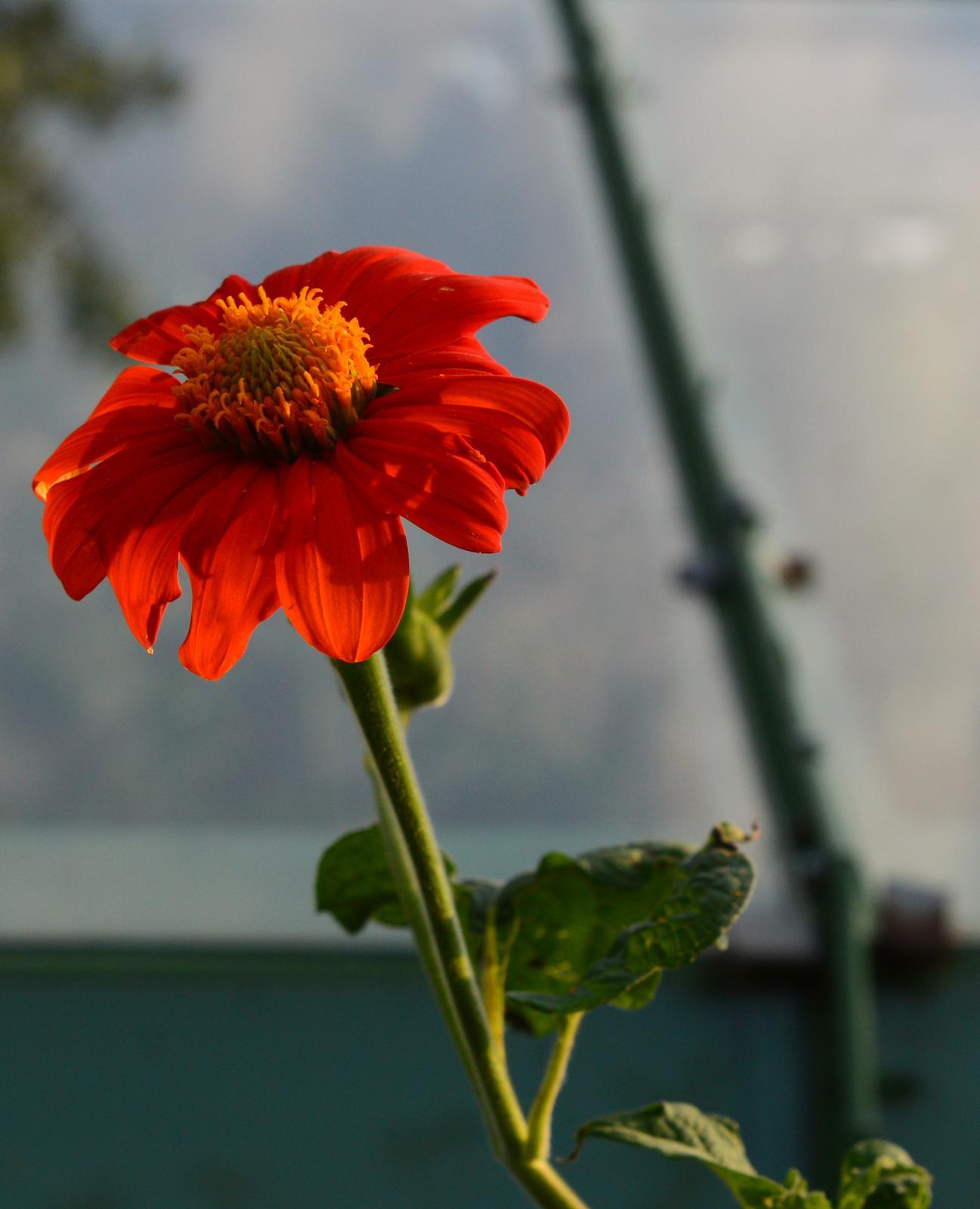 Thitonia alebo mexická slnečnica - semená - Obrázek č. 1