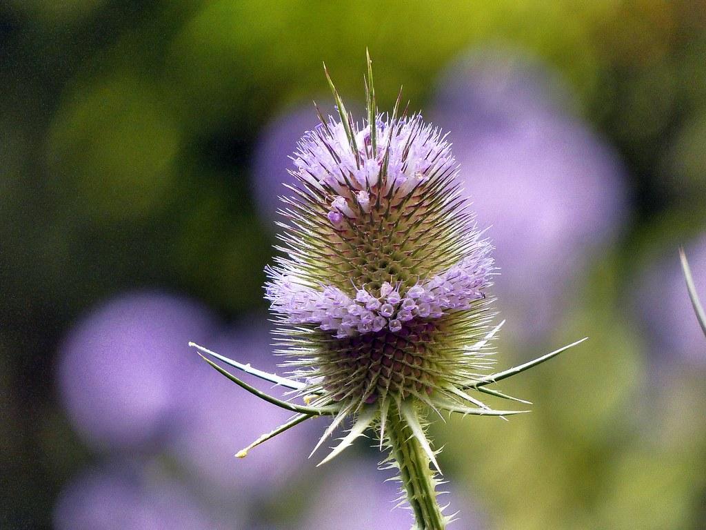 LIEČIVKY (semená) - Štetka lesná (Dipsacus fullonum) - Obrázok č. 3