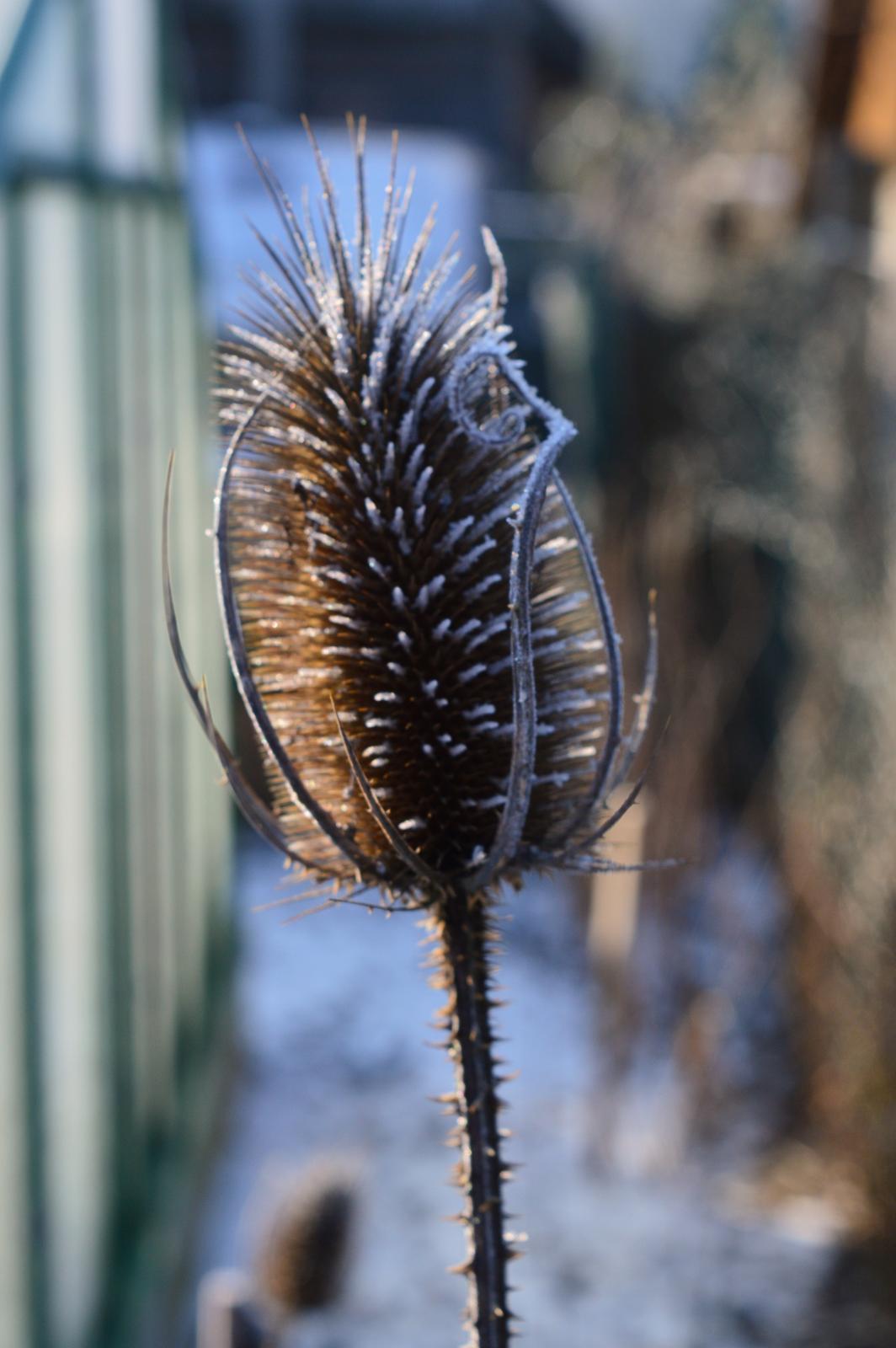 LIEČIVKY (semená) - Štetka lesná (Dipsacus fullonum) - Obrázok č. 4
