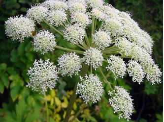 LIEČIVKY (semená) - Angelika lekárska (Angelica archangelica) - Obrázok č. 1