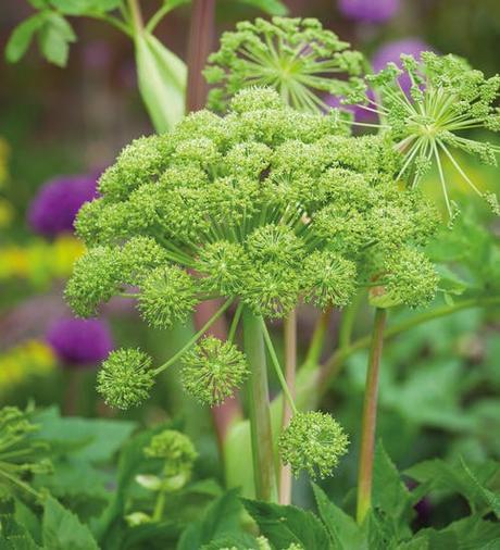 LIEČIVKY (semená) - Angelika lekárska (Angelica archangelica) - Obrázok č. 2