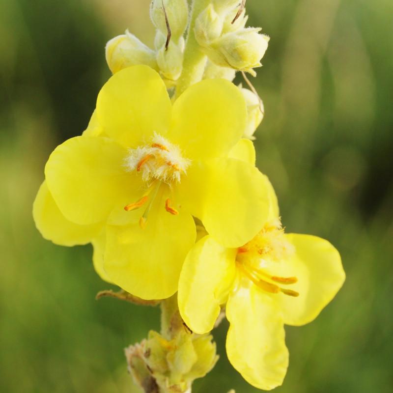 LIEČIVKY (semená) - Divozel veľkokvetý (Verbascum densiflorum) - Obrázok č. 1
