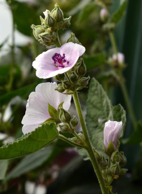 LIEČIVKY (semená) - Ibiš lekársky (Althaea officinalis) - Obrázok č. 1