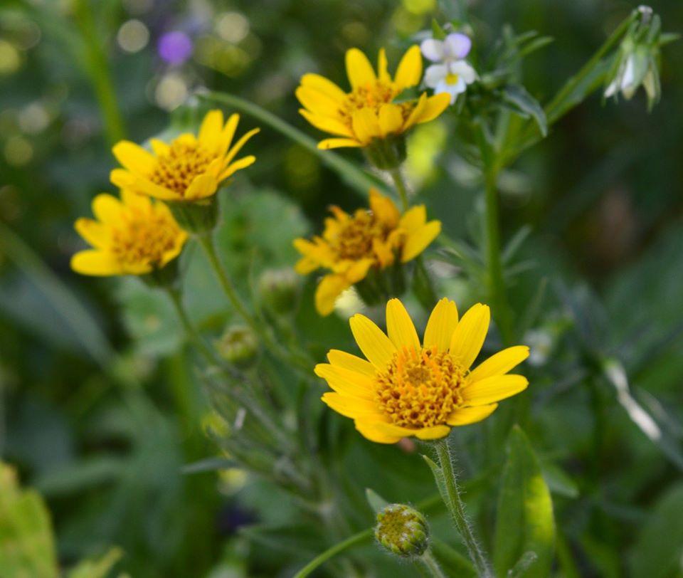 LIEČIVKY (semená) - Arnika horská (Arnica montana) - Obrázok č. 1