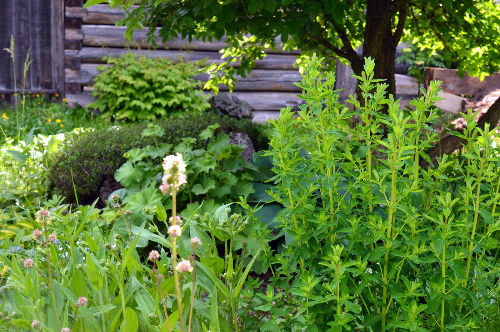 LIEČIVKY (sadenice) - Krvavec menší - šalátový - Obrázok č. 1