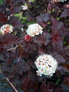 KRÍK (sadenice) - Tavoľa Red Baron a Andre (Physocarpus opulifolius) - Obrázok č. 1