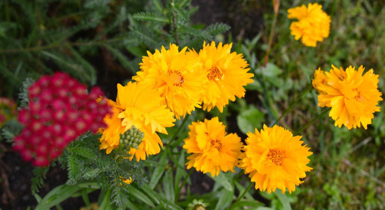 3x sadenica - žlté plné krásnoočko - Obrázok č. 1
