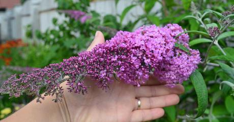 sadenice - budleja Pink Delight / motýlí krík - Obrázok č. 1