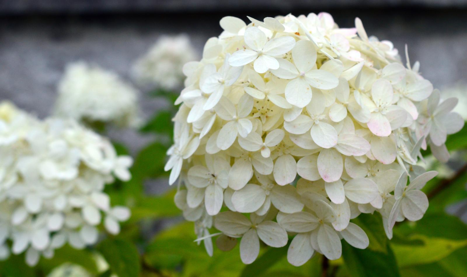 sadenice - hortenzia metlinatá Limelight - Obrázok č. 1