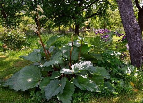 ZELENINA (semená) - rebarbora dlanitolistá - Obrázok č. 1