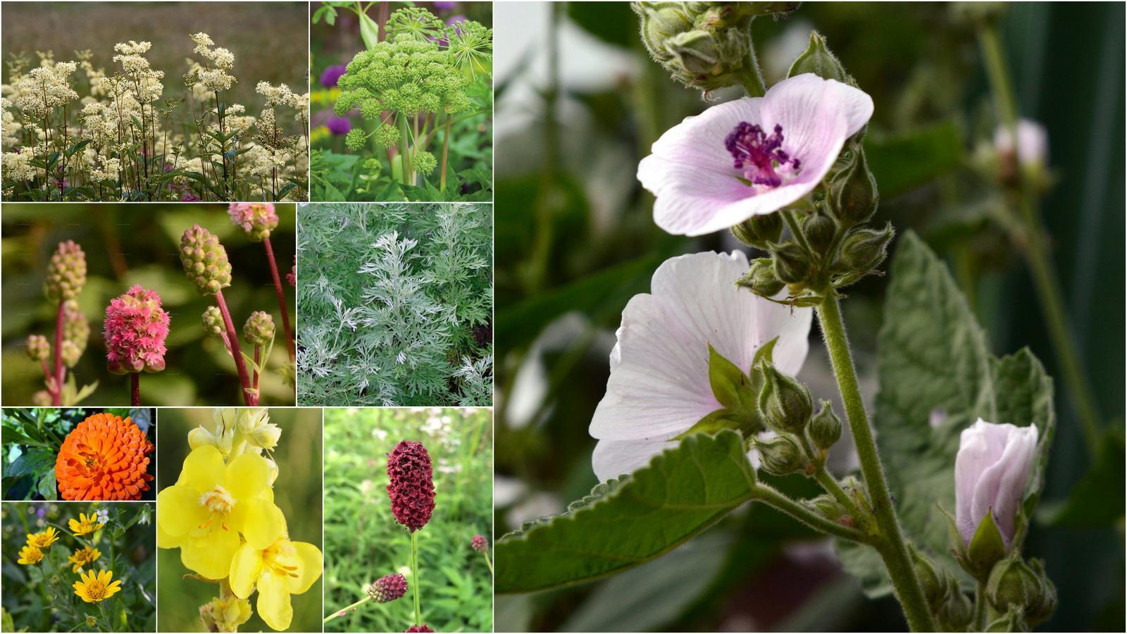 Liečivky (semená) - túžobník, angelika, krvavce, palina, arnika, .... - Obrázok č. 1