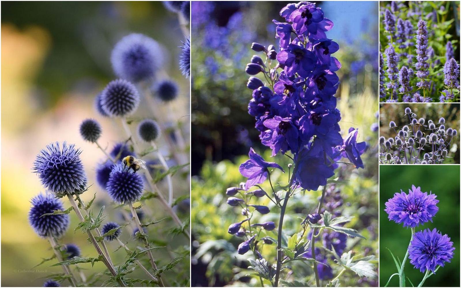 Modré kvietky (semená) - ježibaba, kotúč, stračka, aníz, balónovník .. - Obrázok č. 1