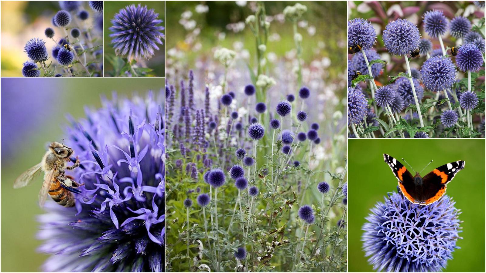 Modré kvietky (semená) - ježibaba, kotúč, stračka, aníz, balónovník .. - Obrázok č. 2