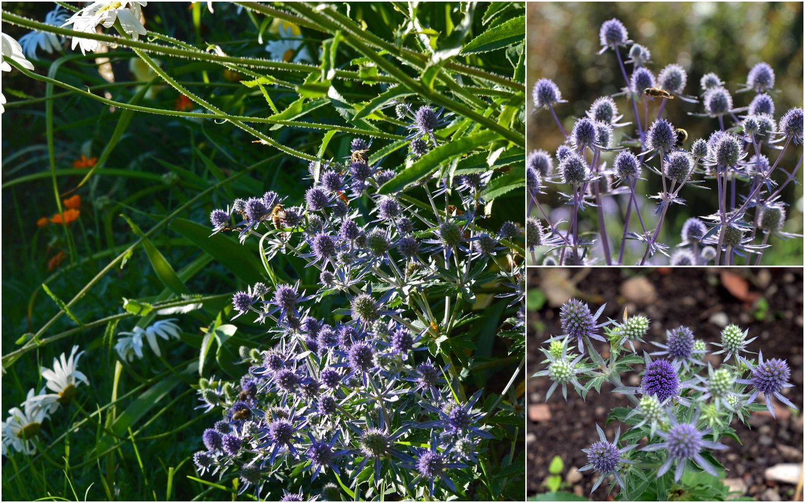 Modré kvietky (semená) - ježibaba, kotúč, stračka, aníz, balónovník .. - Obrázok č. 3