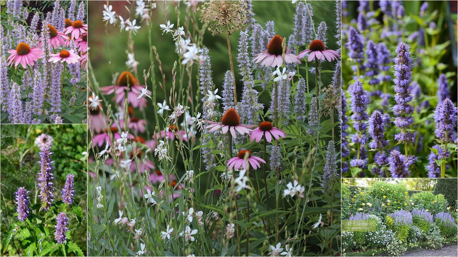 Modré kvietky (semená) - ježibaba, kotúč, stračka, aníz, balónovník .. - Obrázok č. 4