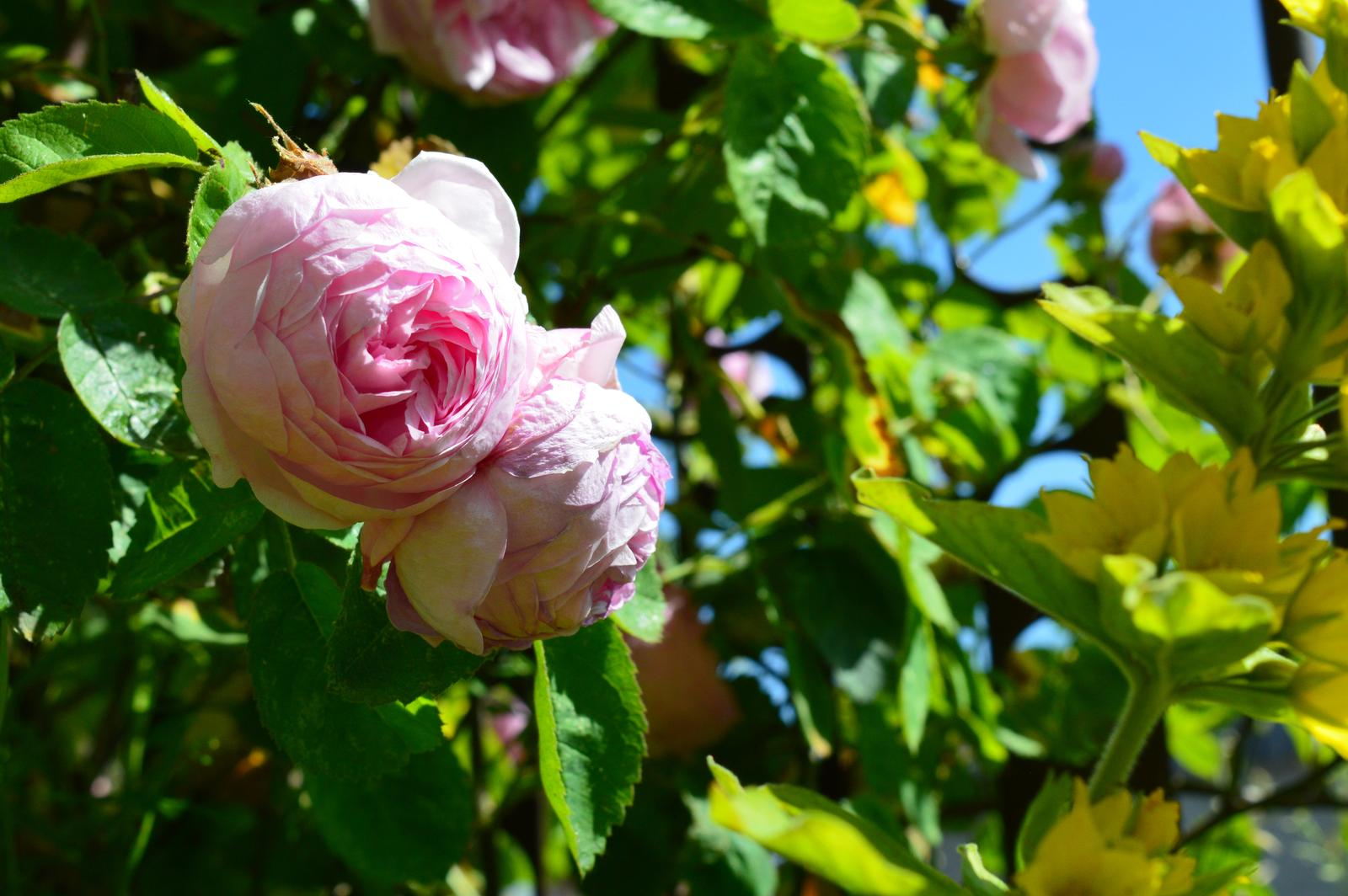 historická ruža stolistá - liečivka - Obrázok č. 1