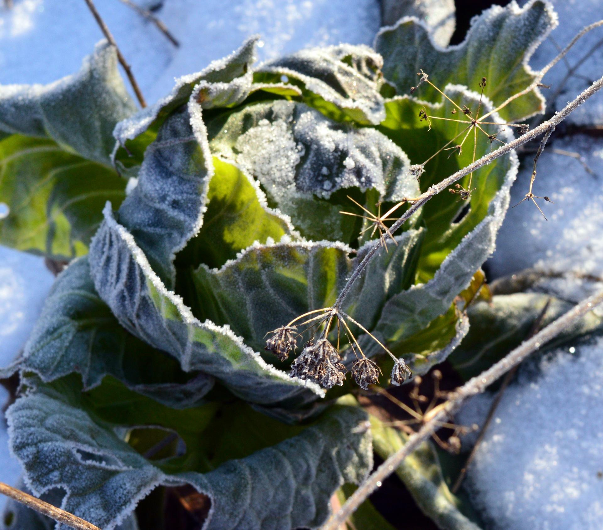 """Naša prírodná perma záhradka v roku 2020 - obyčajná """"sudová"""" kapusta ostáva na zimu"""
