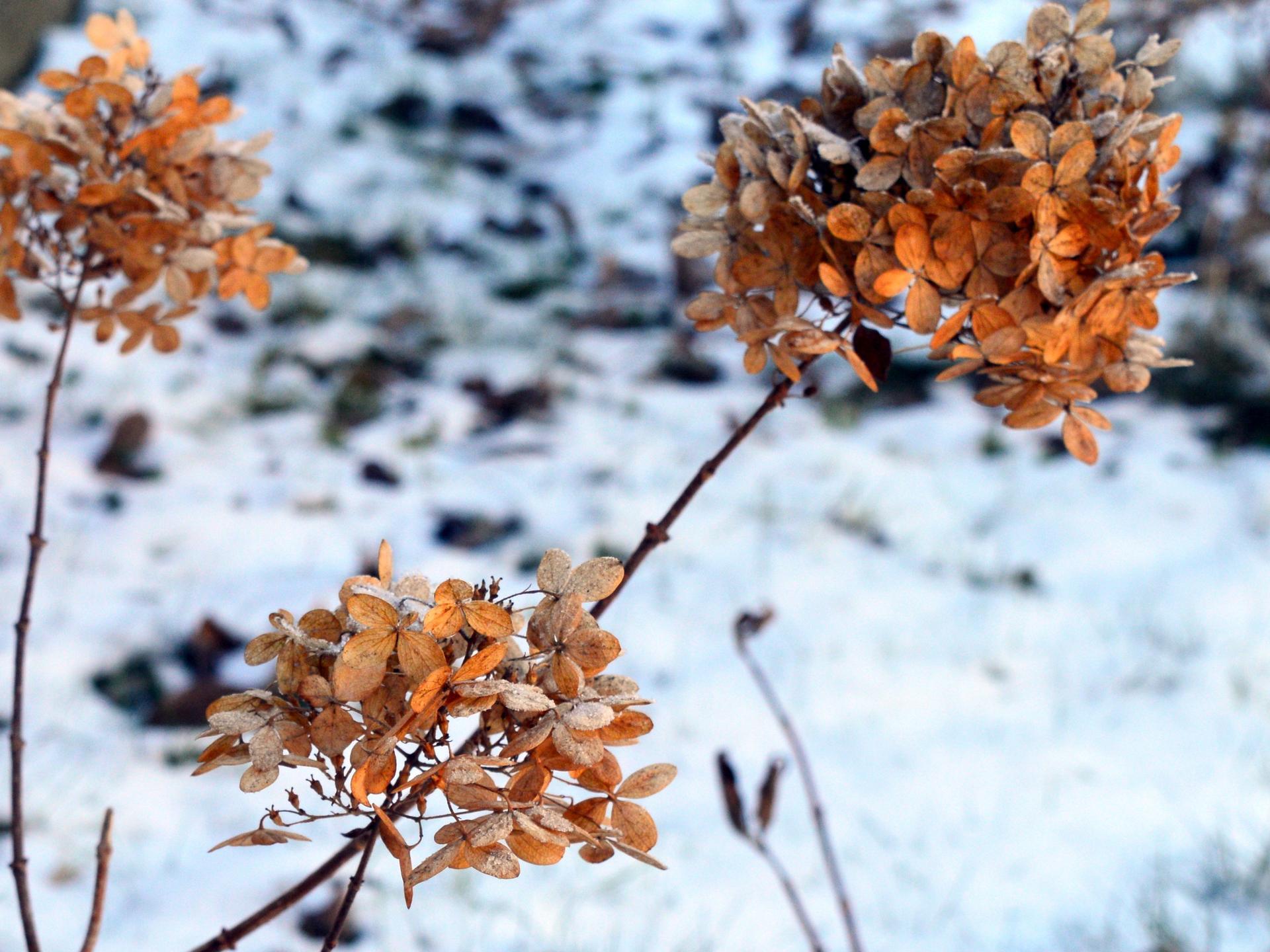 Naša prírodná perma záhradka v roku 2020 - hortenzia limelight