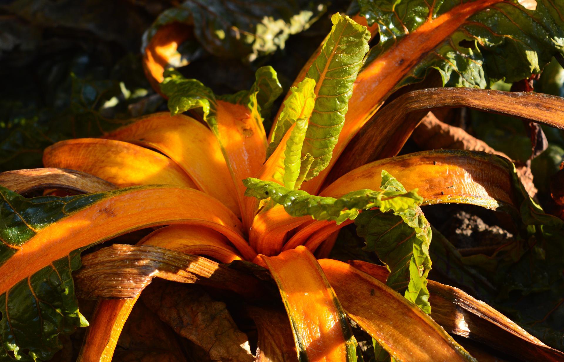 Naša prírodná perma záhradka v roku 2020 - mangold