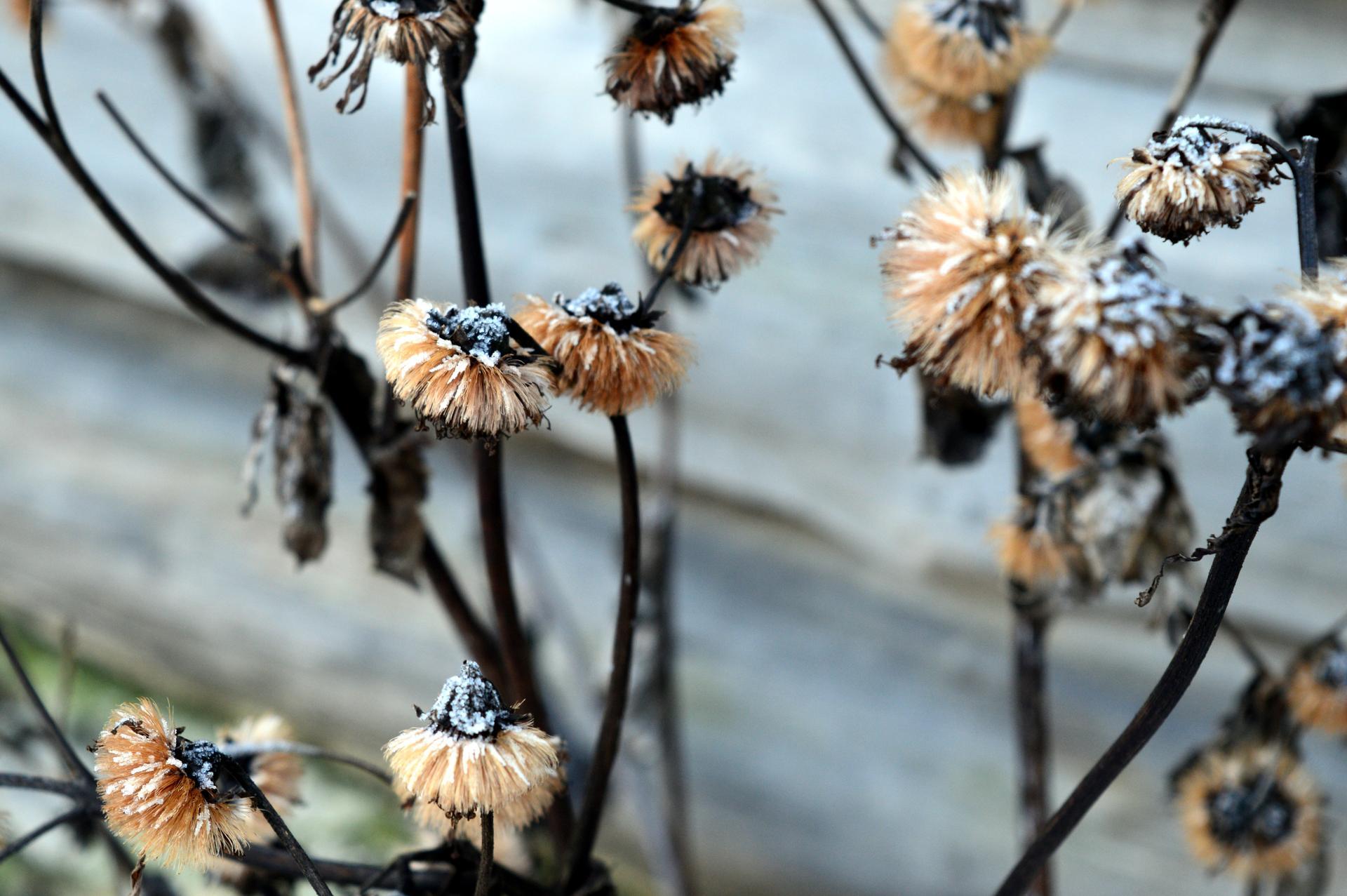 Naša prírodná perma záhradka v roku 2020 - jazyčník desdemona
